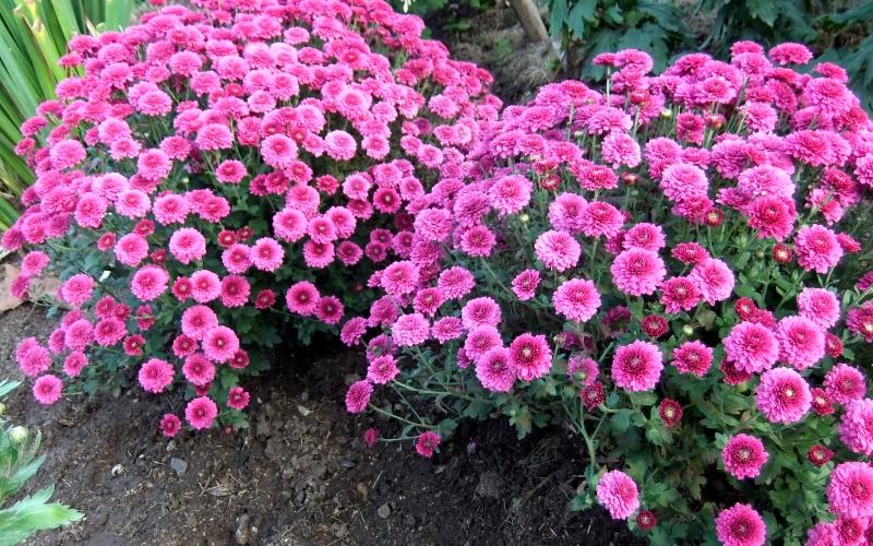 садовые цветы кустовые названия и фото