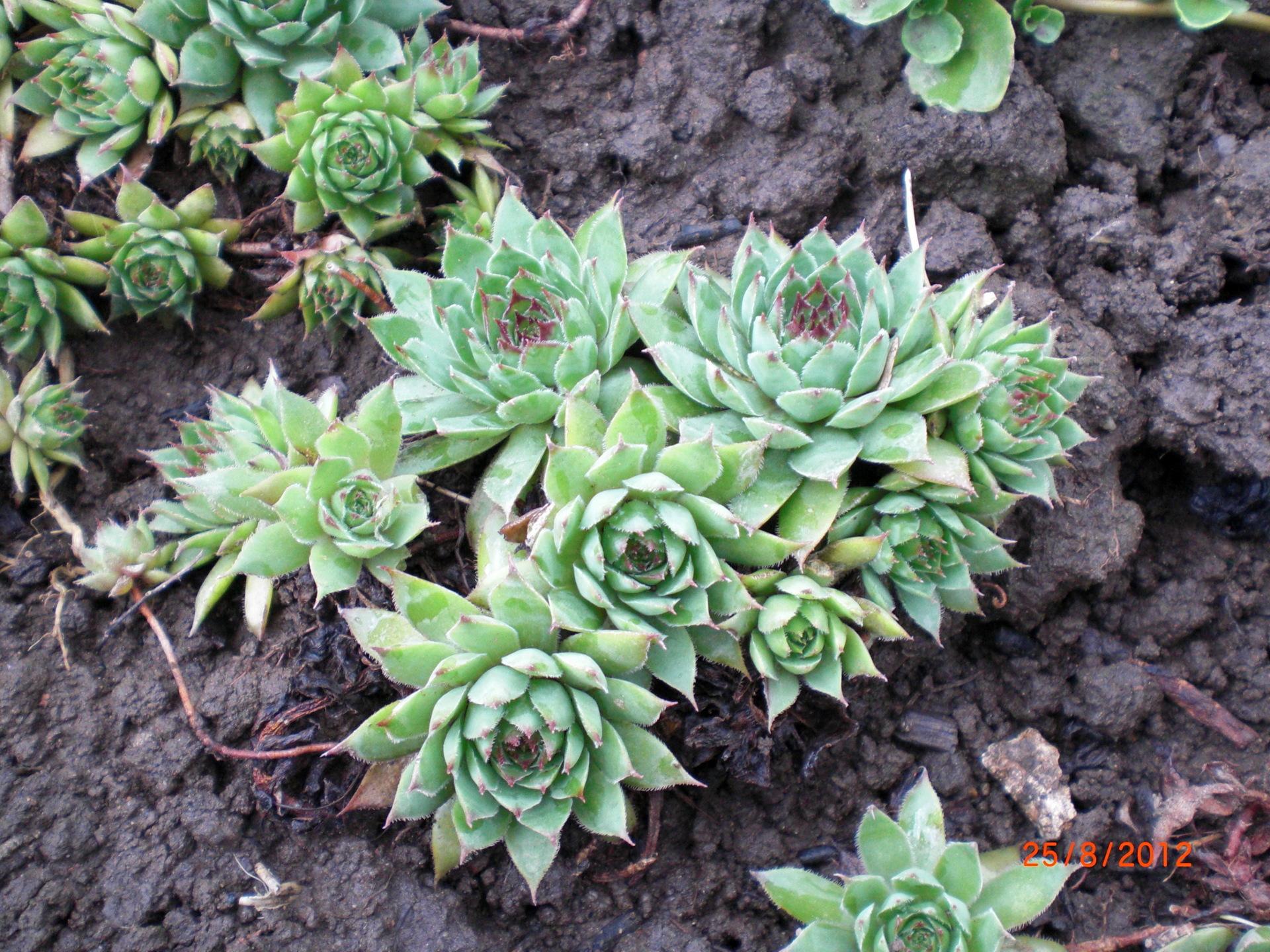 Многолетние неприхотливые садовые цветы фото