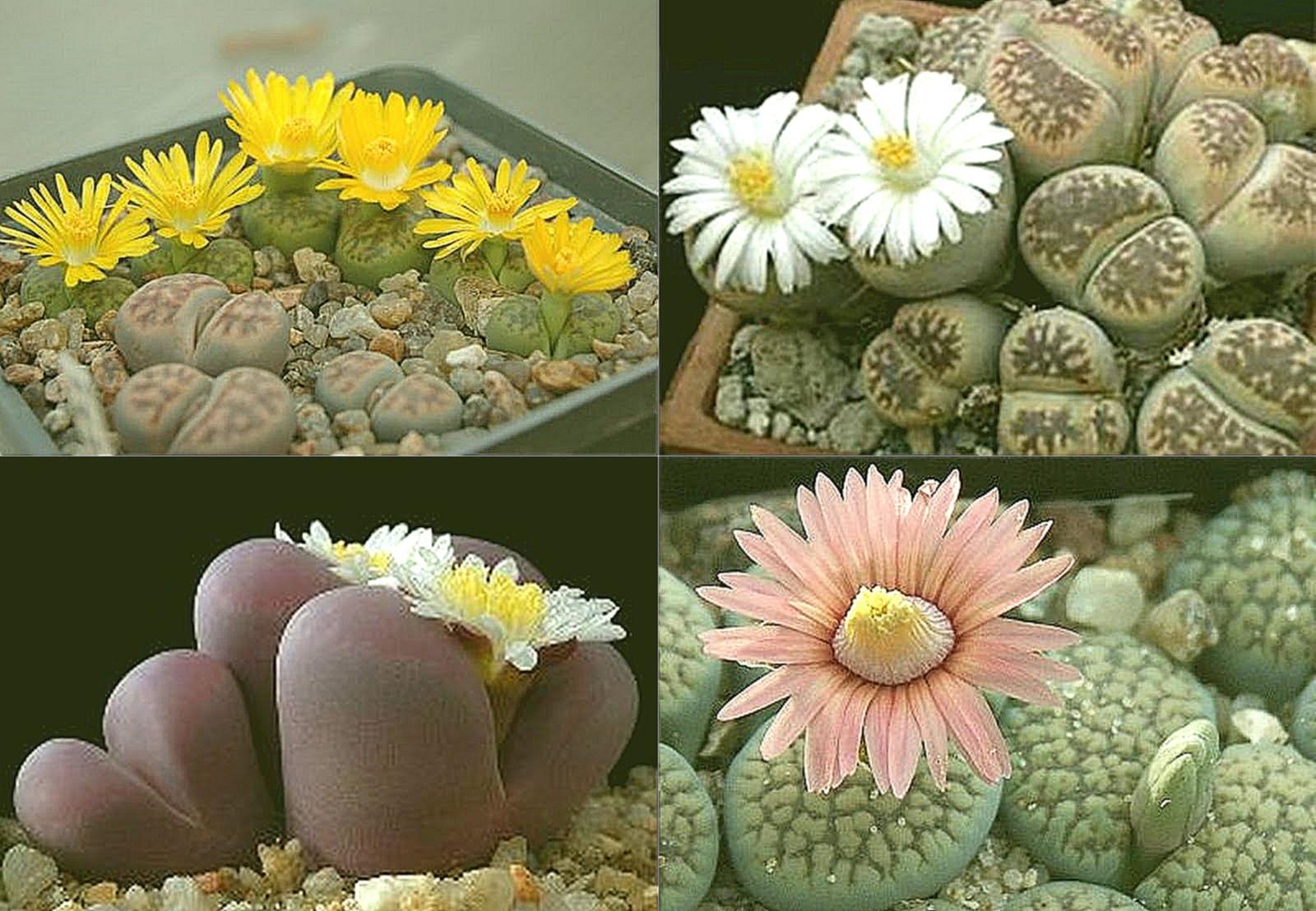 Цветок растущий на камнях названия