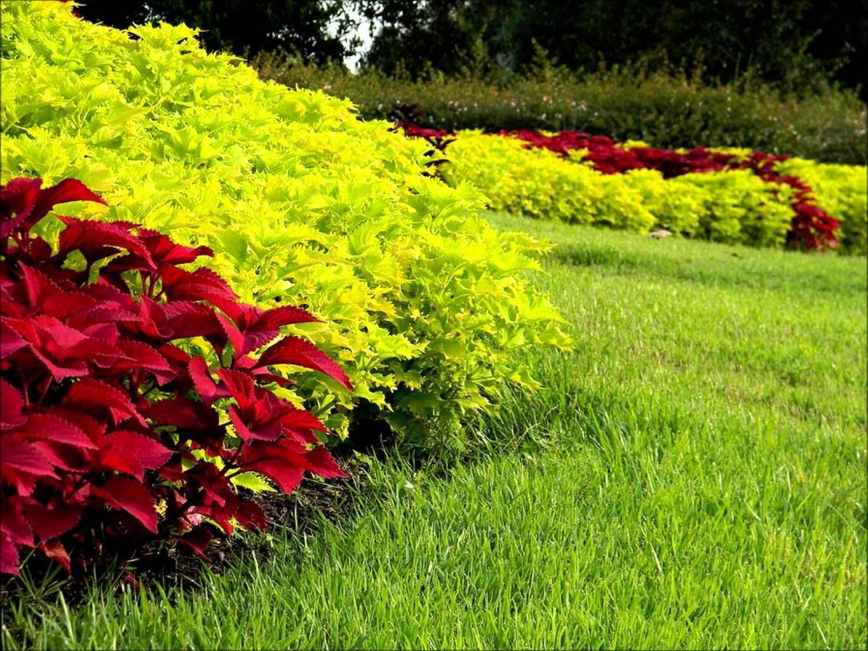 Колеусы с какими цветами сочетается фото