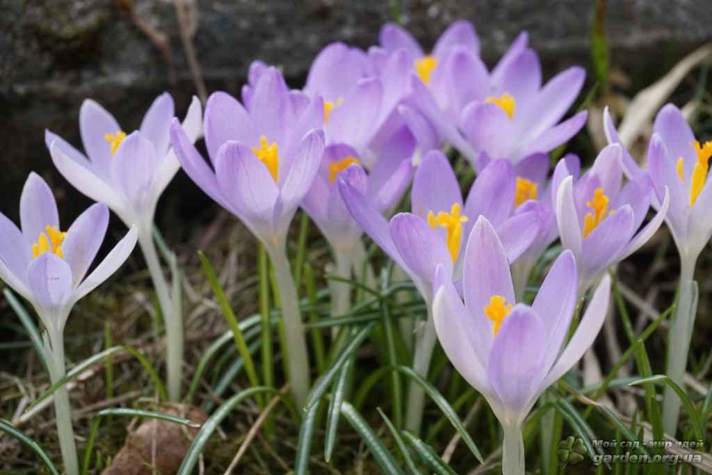 Крокус выращивание и уход в саду 6