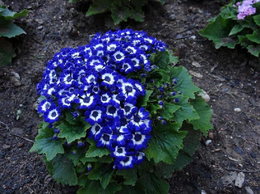 Комнатные цветы цинерария выращивание и уход фото 47