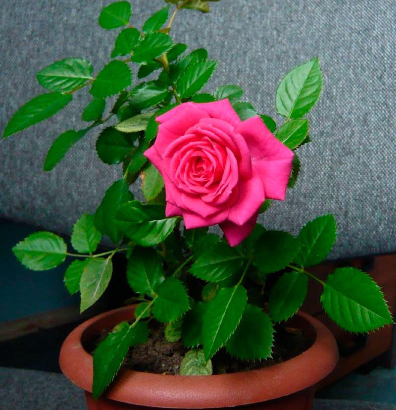 Время цветения розы в домашних условиях