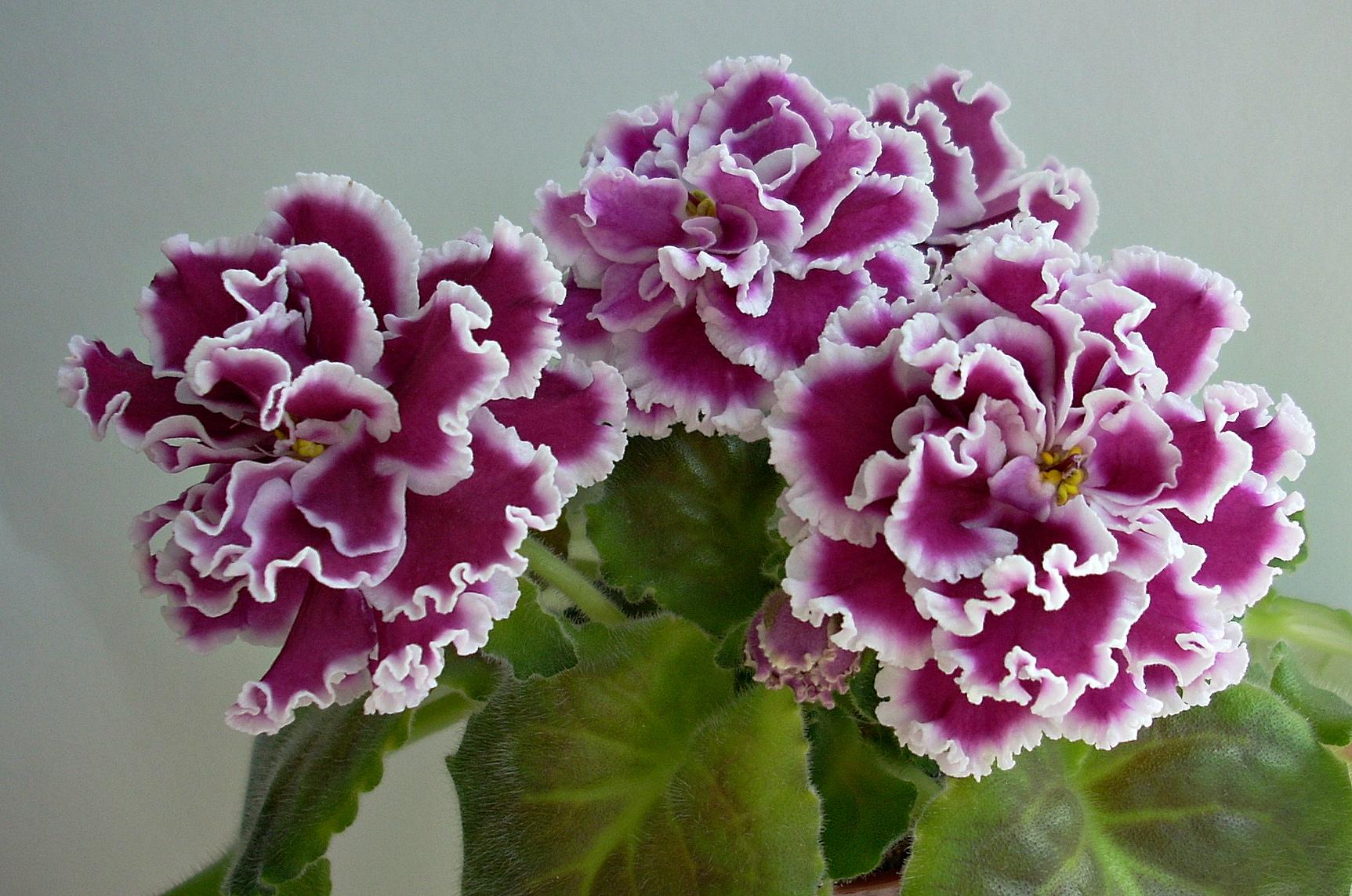 Цветы фиалки разновидности