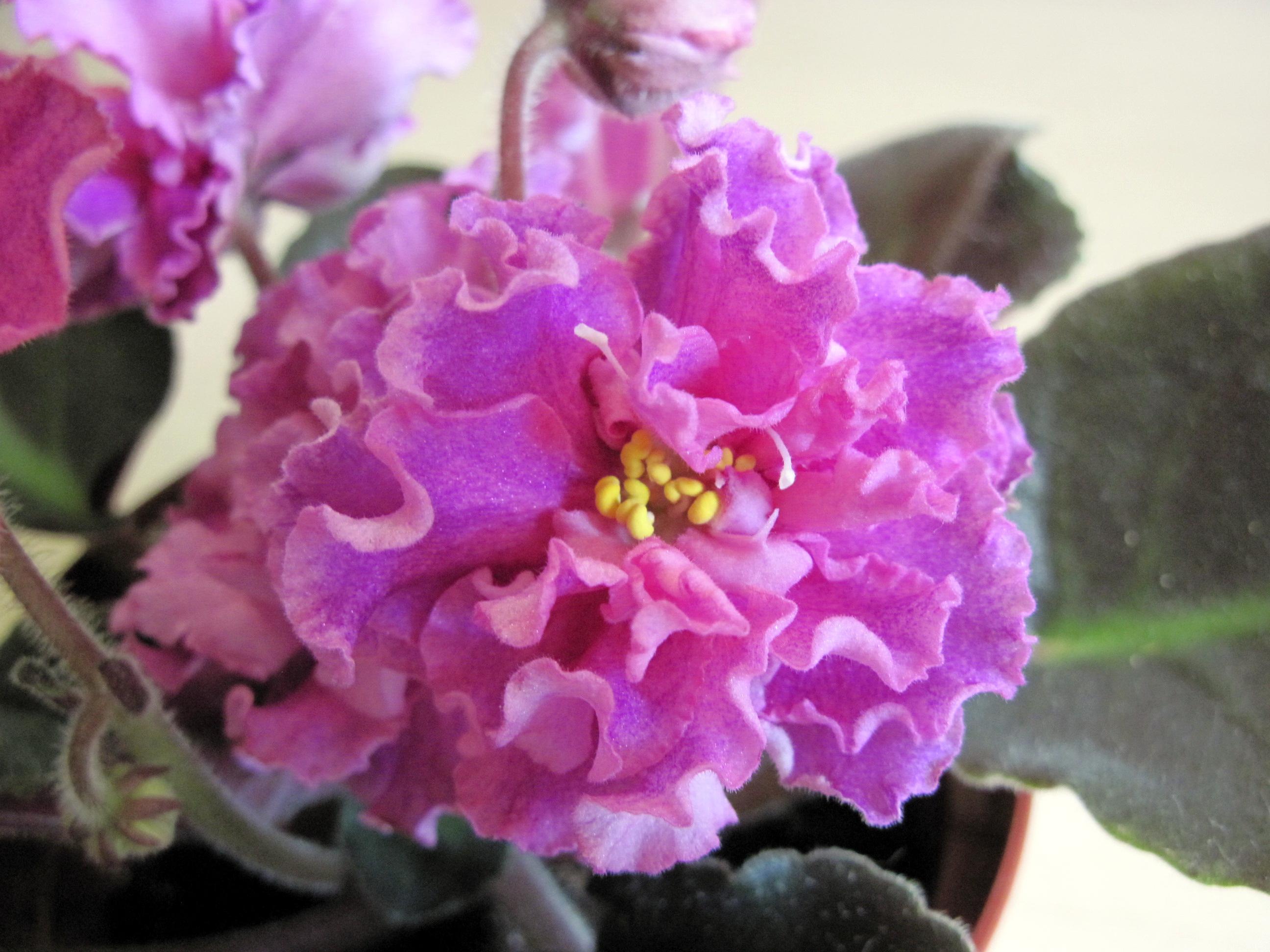 Ле-огненный цветок фиалка фото и описание