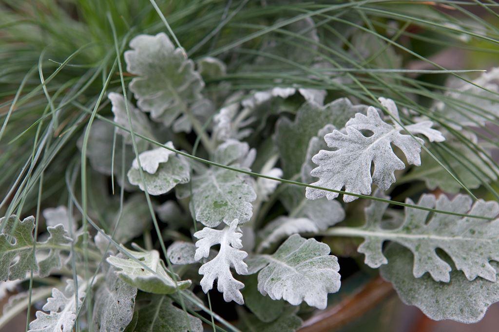 Выращивание цинерарии серебристой из семян 6