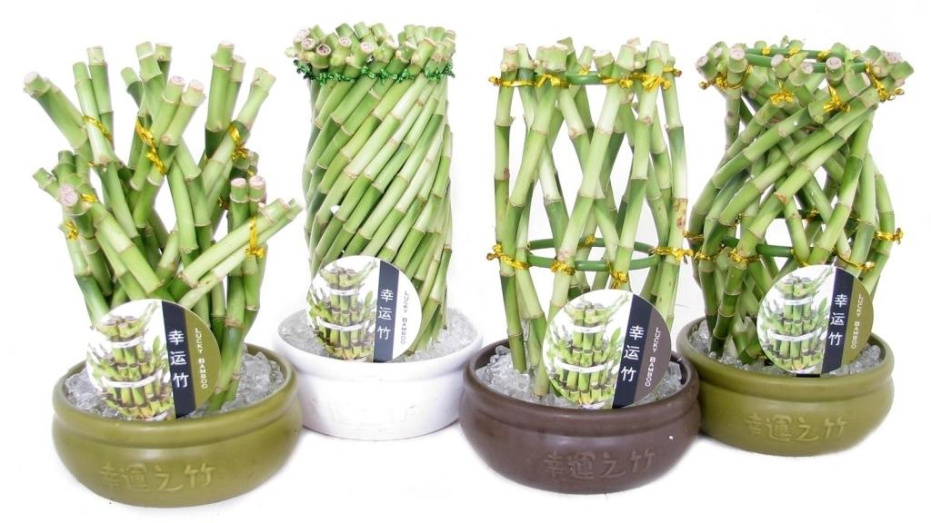 Условия выращивания бамбука в домашних условиях