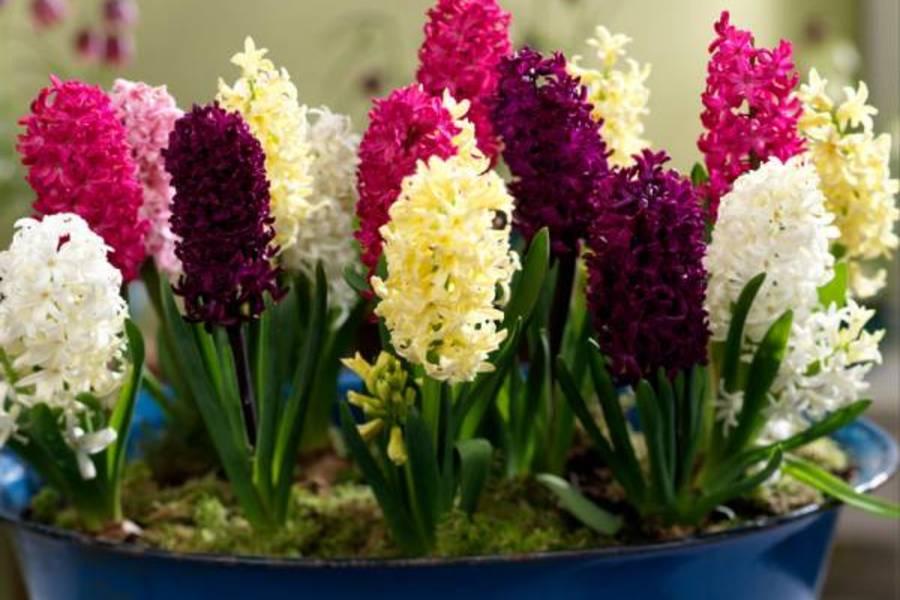 Цветок гиацинт как сажать 78