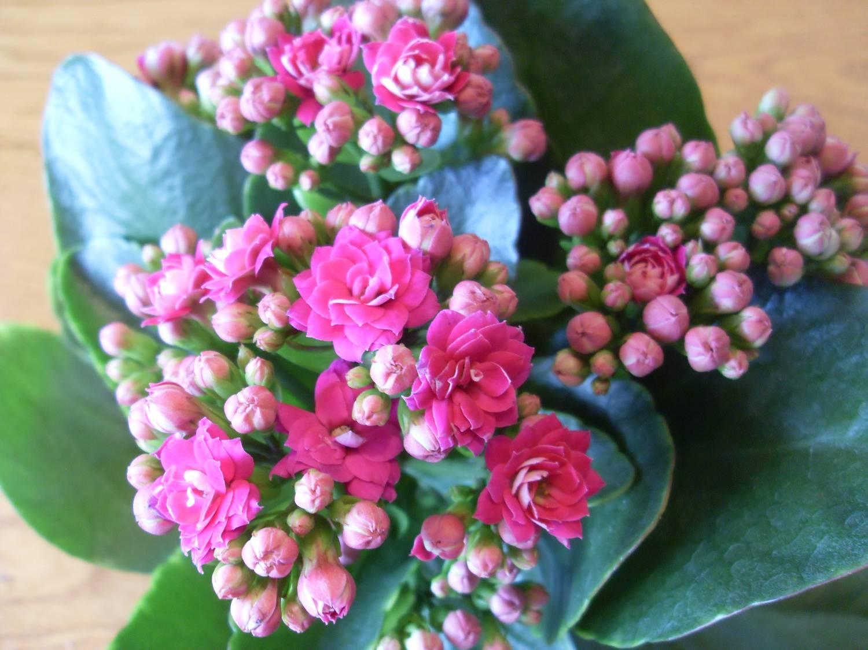 Как выглядит цветок каланхоэ лечебный