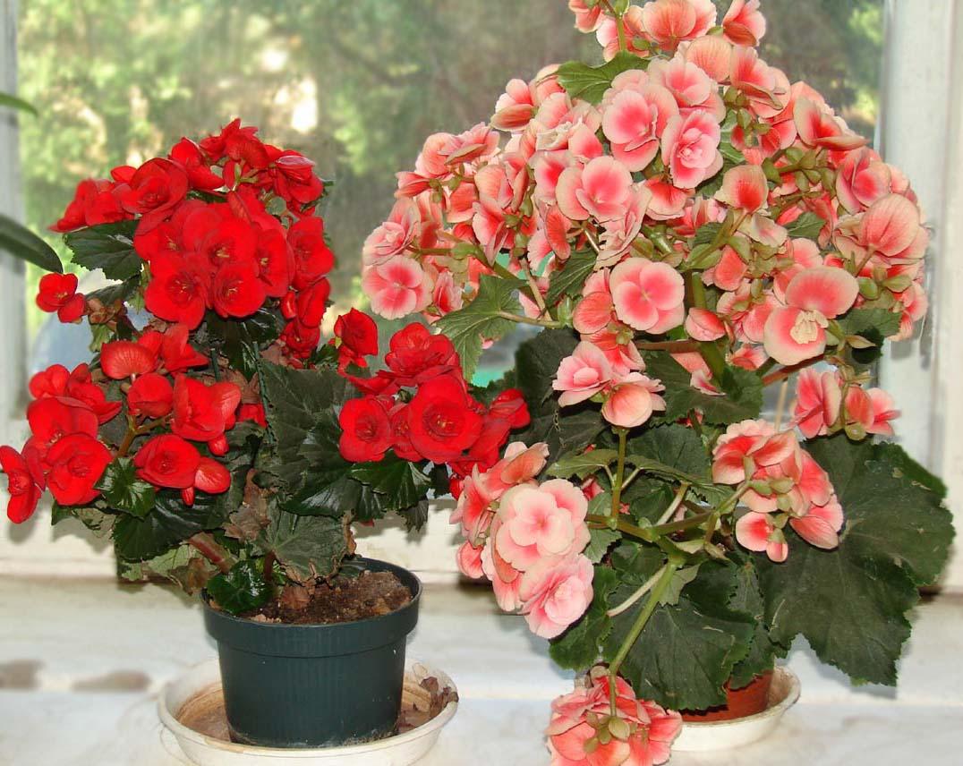 Цветы комнатные бегония уход в домашних условиях
