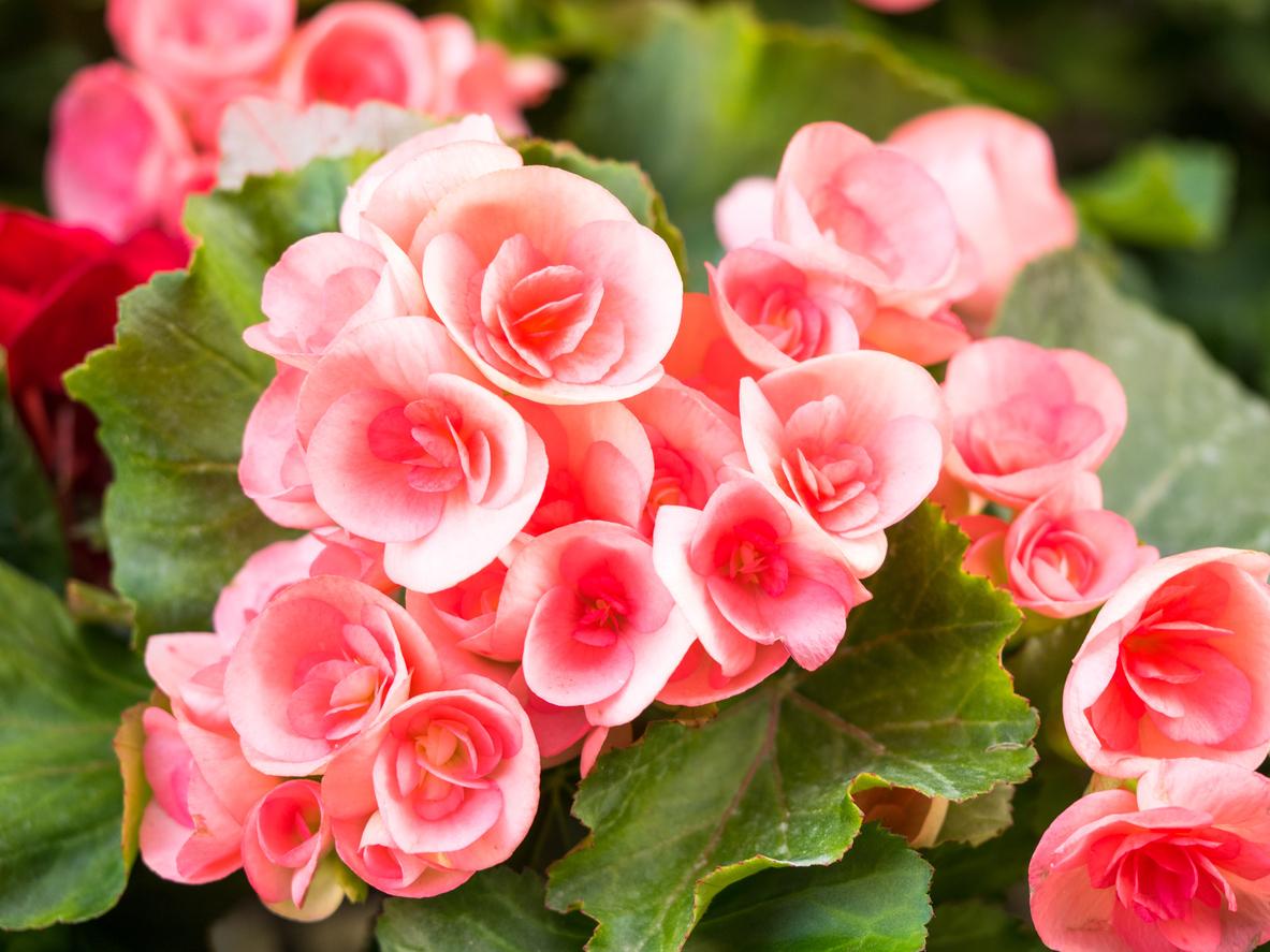 Какие цветы бегония фото