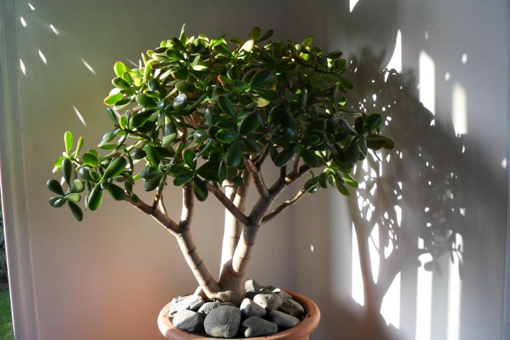 Как правильно сажать денежное дерево в горшок для привлечения денег 1