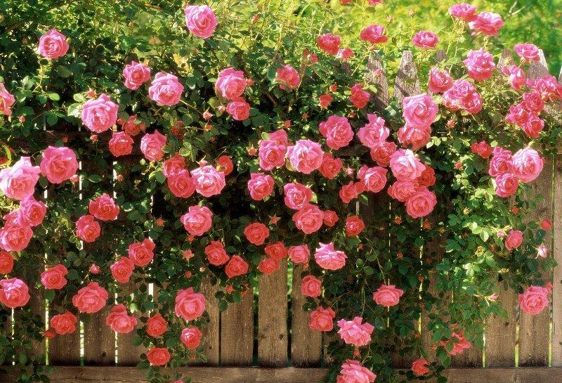 Цветы роза посадка и уход фото