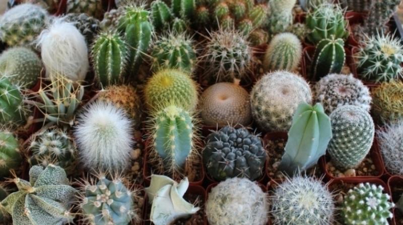 разновидности кактусы названия и фото