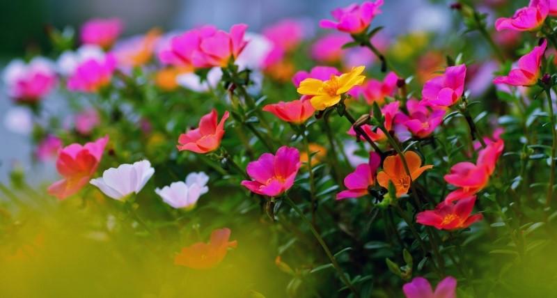 Что собой представляет портулак цветок