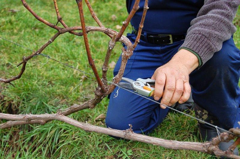 Правильный уход за виноградом осенью - подготовка к зиме