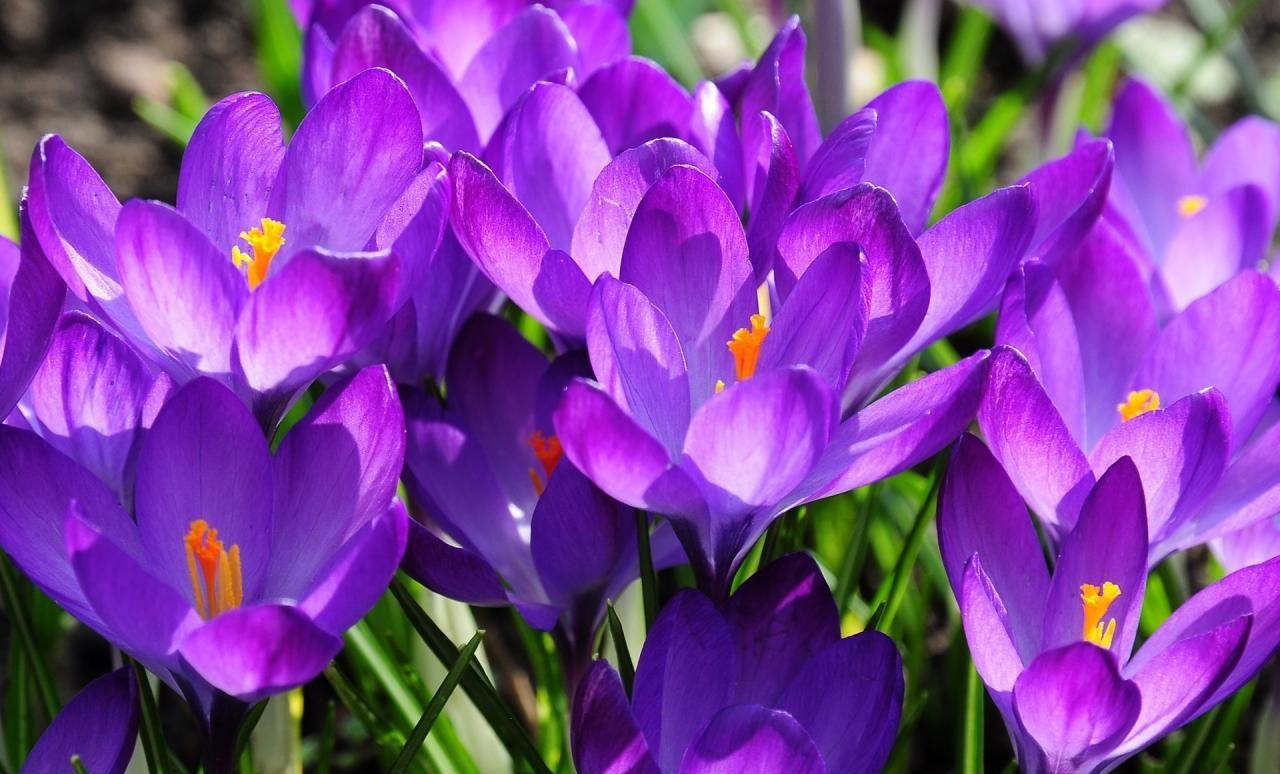 Садовые крокусы: описание видов и секреты правильного ухода