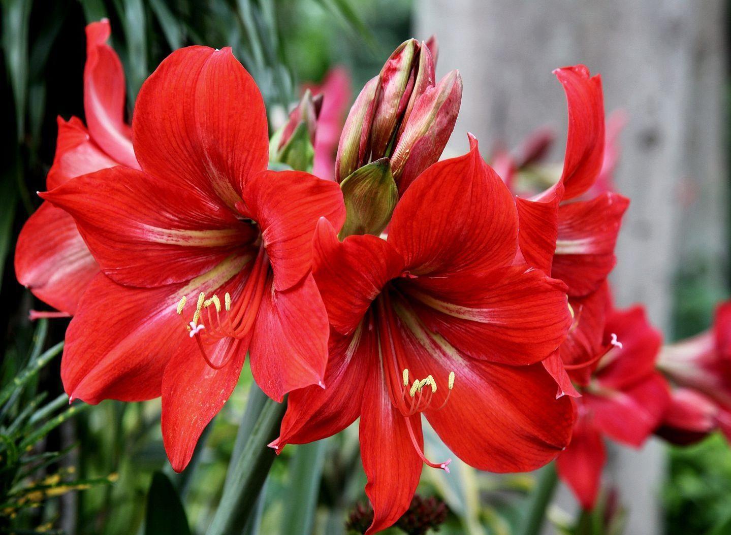 Цветок гиппеаструм: каталог видов и сортов, особенности ухода