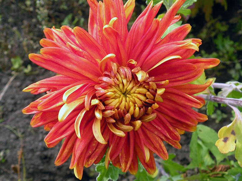 Осенние цветы для приусадебного участка: разнообразие видов