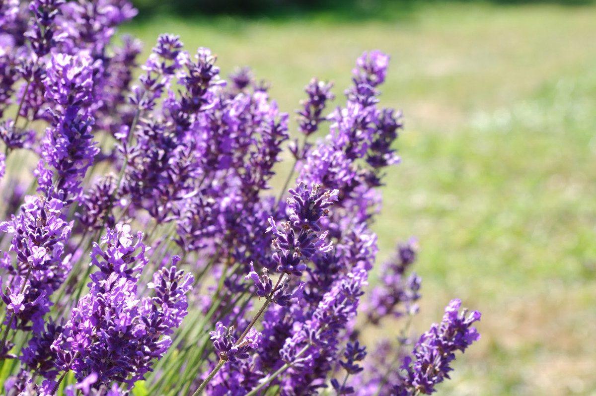 Лаванда как декоративное растение: душистое обаяние