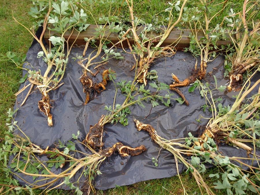 Цветок дицентра (разбитое сердце): сорта, выращивание и размножение