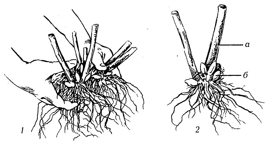 Цинерария: технология посадки и ухода в открытом грунте и домашних условиях