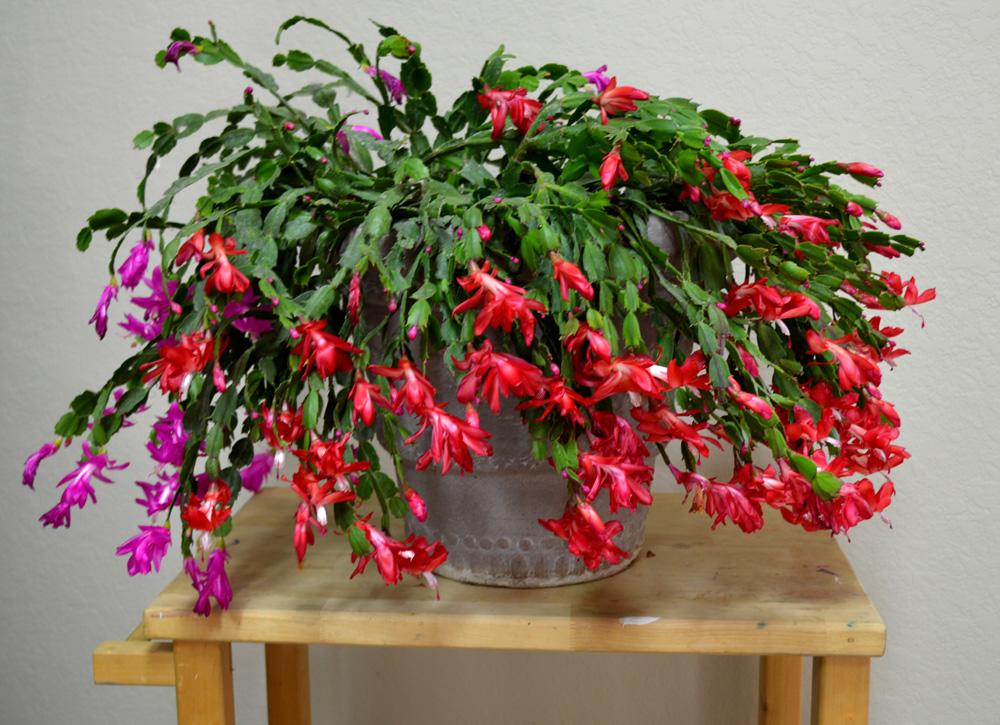 Декабрист: как ухаживать за тропическим цветком у себя дома