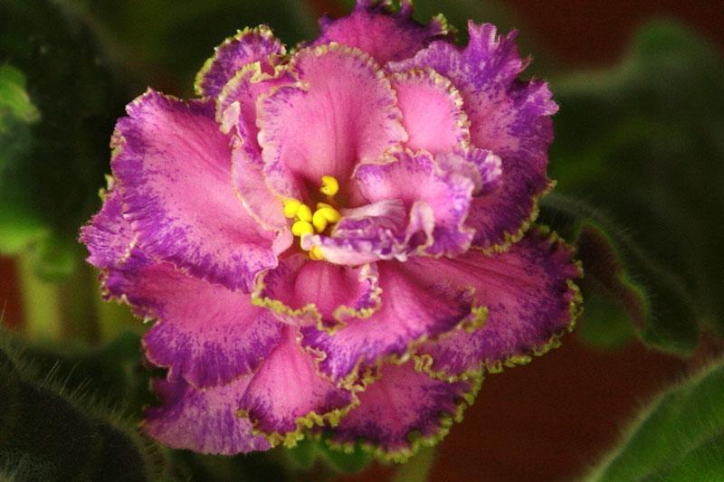 Нежные цветы фиалки: разновидности комнатных растений
