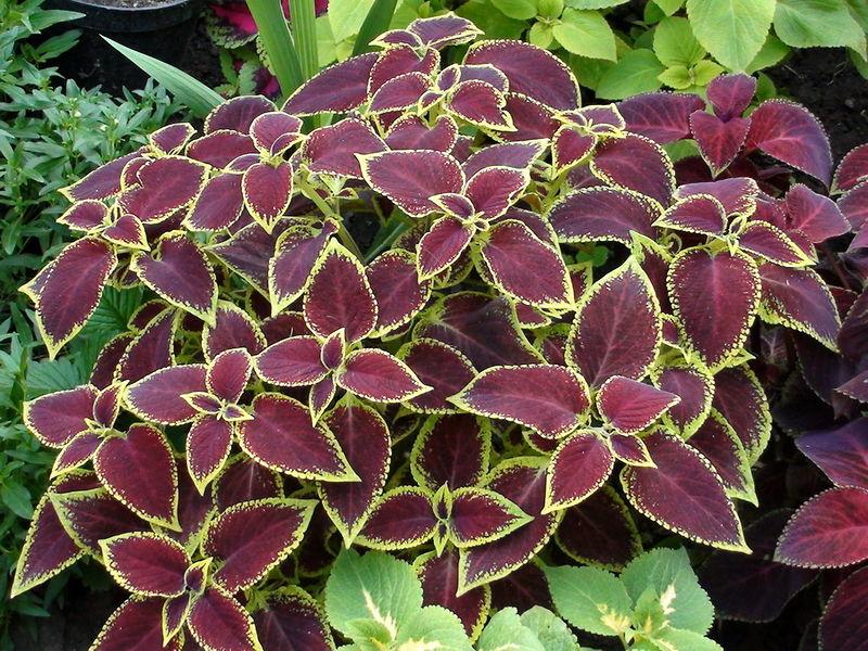 Многообразие садовых колеусов: виды, сорта и секреты выращивания