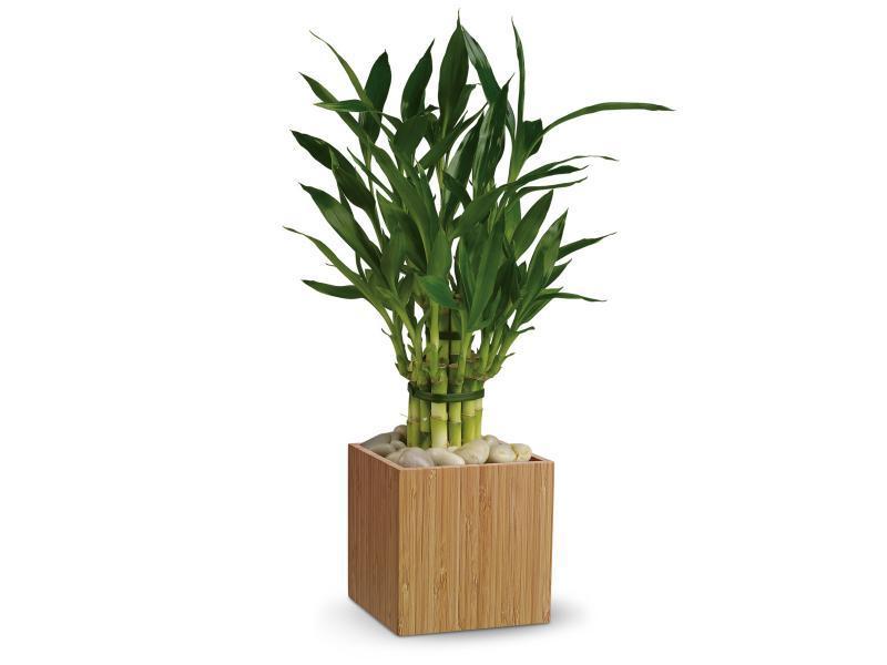 Декоративный бамбук в домашних условиях уход Flowery-Blog 91