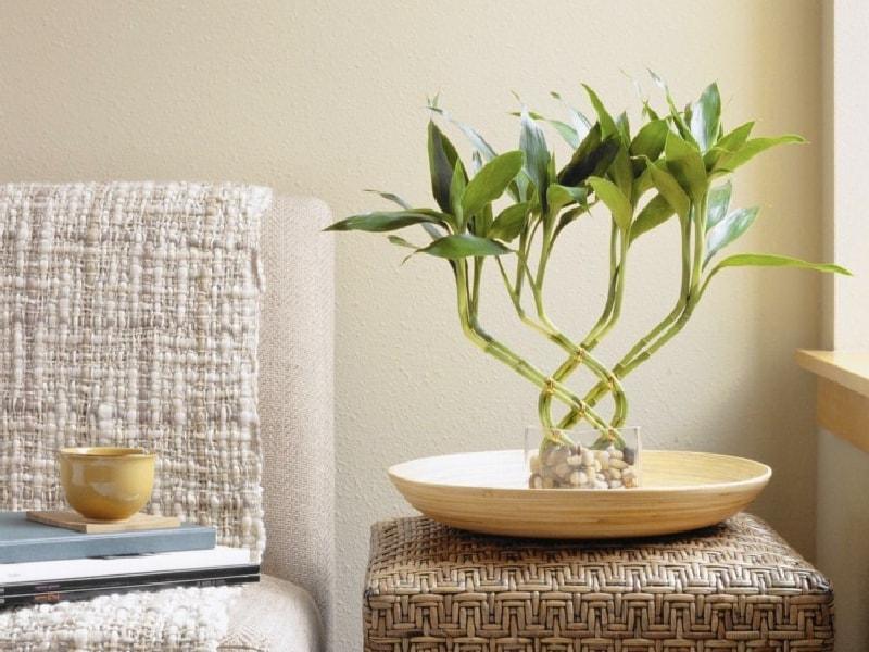 Комнатное растения бамбук: уход, размножение и виды экзотического гостя