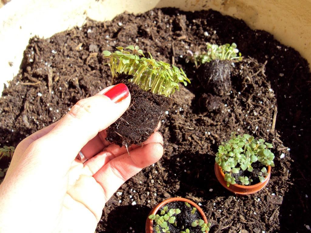 Львиный зев: выращивание из семян и уход после высадки в открытый грунт
