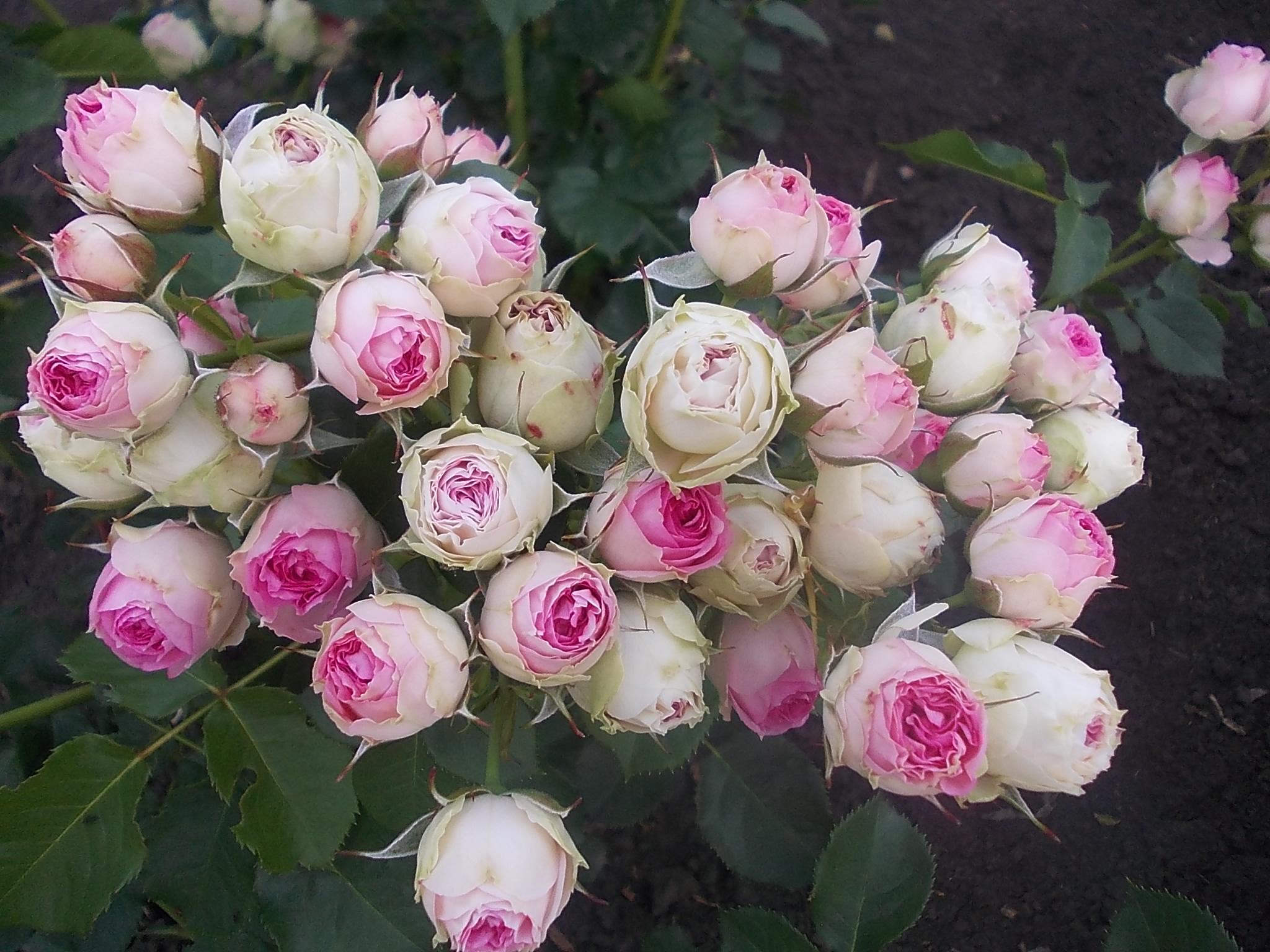 Картинка розы и клавиши