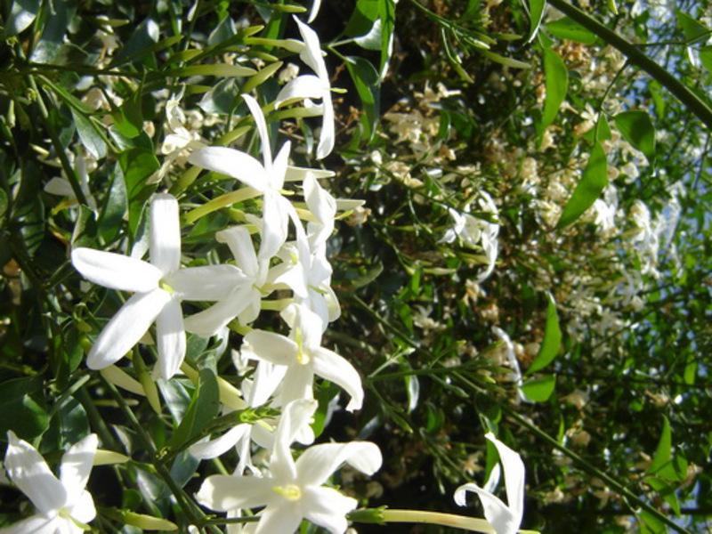 Всё о садовом жасмине: так ли прост гость из Древней Греции