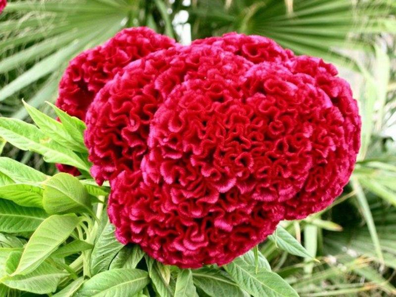 Цветок целозия гребенчатая -посадка и уход 87