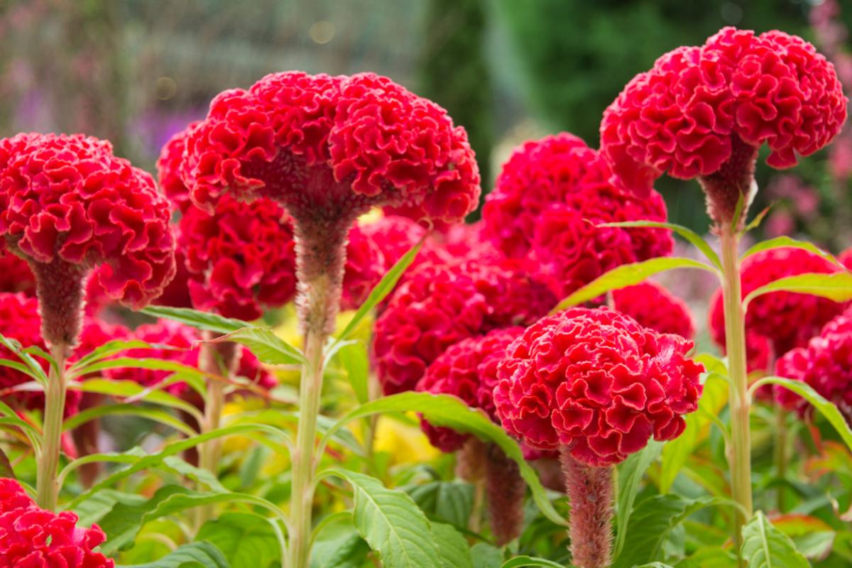 Цветок целозия гребенчатая -посадка и уход