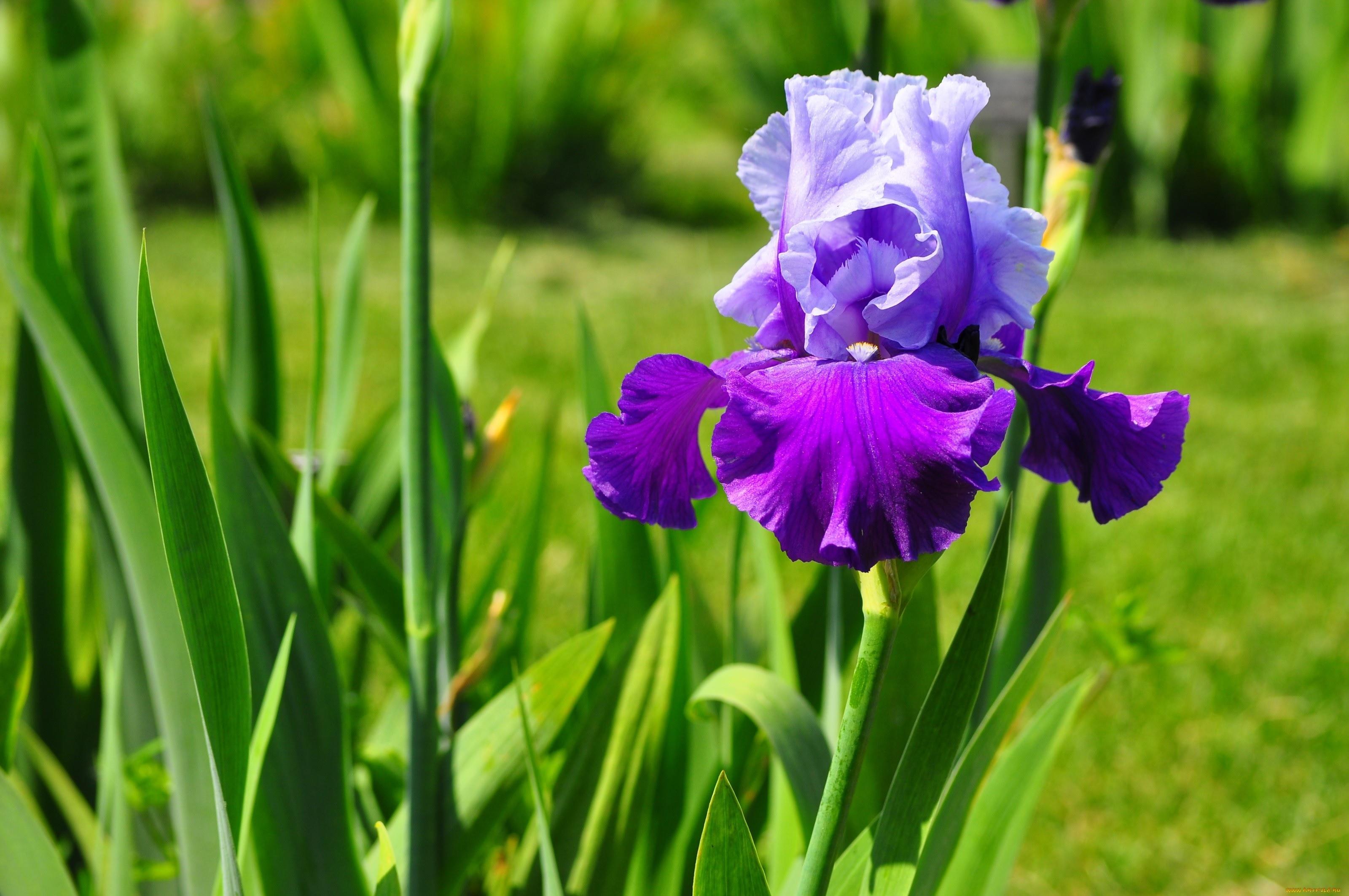 Цветок ирис: калейдоскопичность видов и сортов