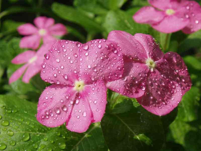 Бальзамин: особенности выращивания в домашних условиях и саду