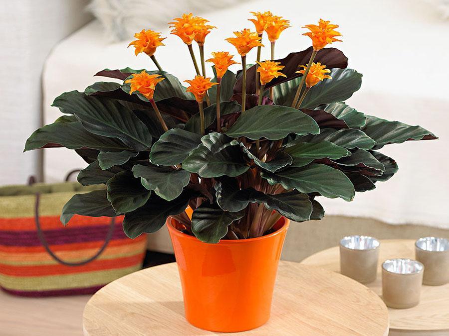 Цветок калатея: описание видов и особенности ухода в домашних условиях