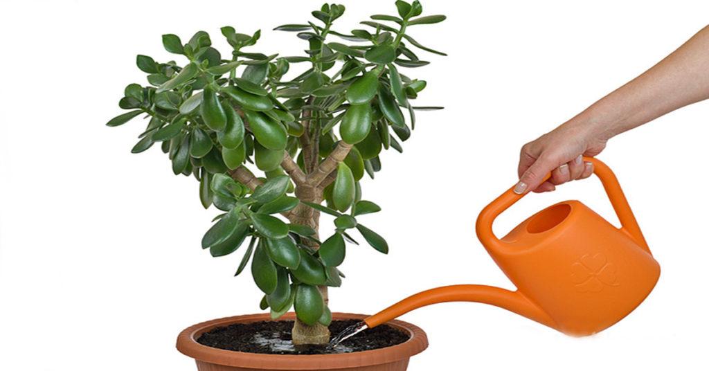 Денежное дерево: как выглядят различные виды толстянки