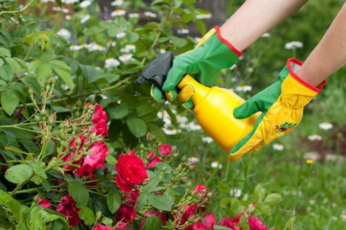 Тонкости ухода за розами осенью
