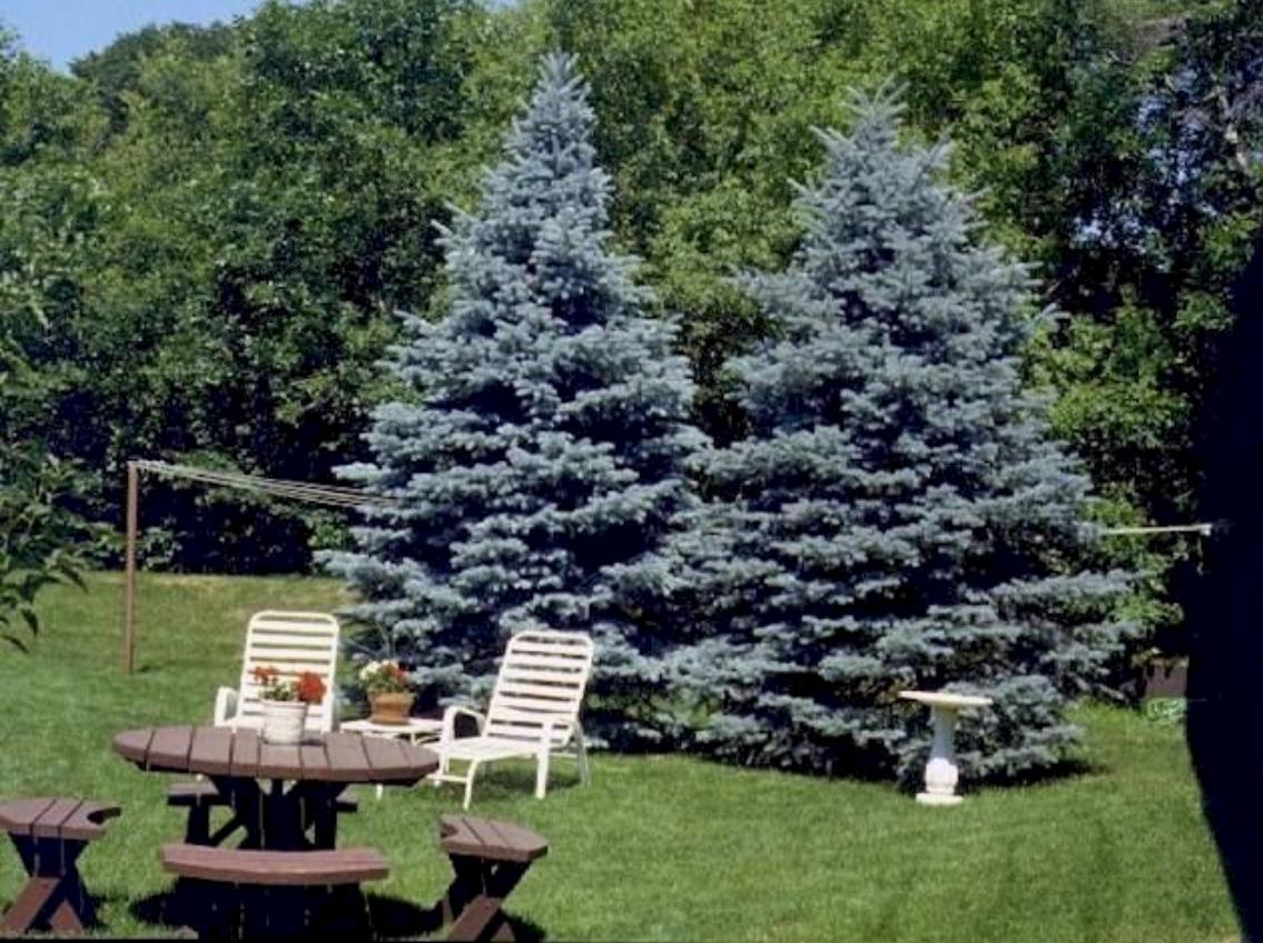 Ели в ландшафтном дизайне: лучшие декоративные сорта и особенности выращивания