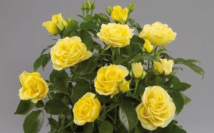 Описание роз сорта Кордана и их разновидности, правила посадки и выращивания